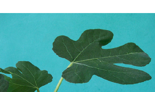 Another Type of Fig Leaf